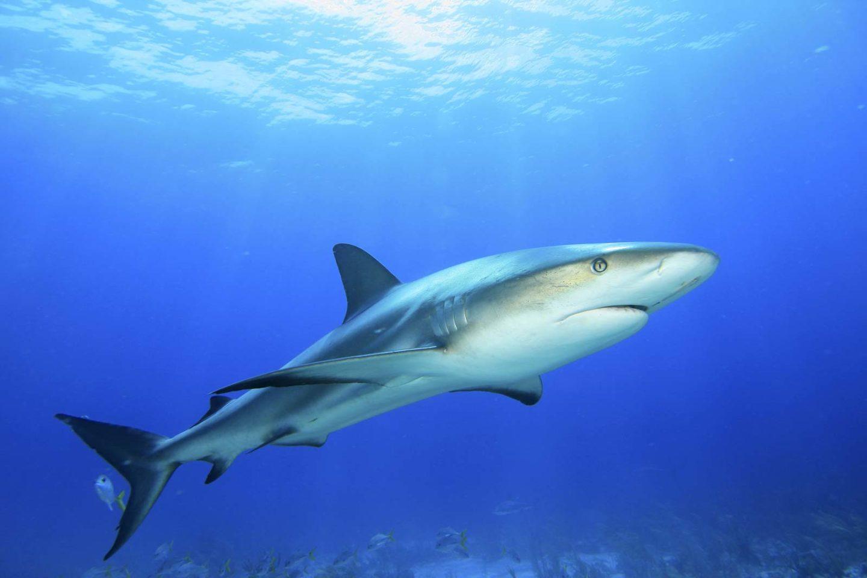 Shark swimming ocean